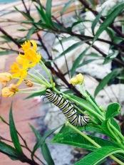 Moarach Caterpillar