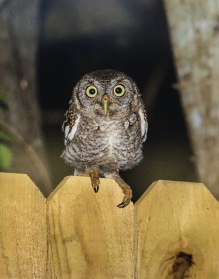Young Screetch Owl